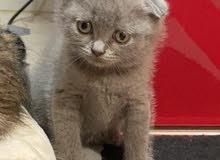 kitten scotch fold and british