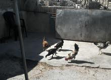 دجاج وديوك