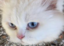 قط شيراز ذكر لو عيون زرق للاستفسار0790753977