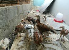 فروخ دجاج باكستانيه نسل طيب 13ب 35