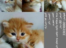 Shirazi (Persian) cat for sale