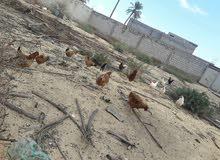 دجاج بسم الله مشاء الله للبيع