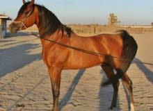 حصان عربي أداب