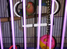 طيور بيسو
