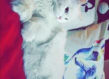 قطة شيرازي انثى السعر 50