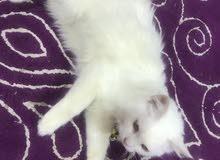 قط للبيع العمر 6