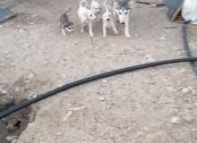 كلب هاسكي مهجن