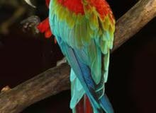 male green wing macaw
