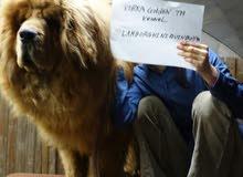 TIBETAN mastiff 3 months old