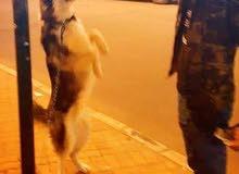 كلب هاسكي سايبيري لونغ هير بيور