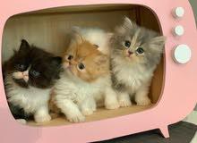 قطة شيرازي أنثى العمر 50 يوم persian kitten