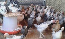 دجاج تربيت مزارع العين