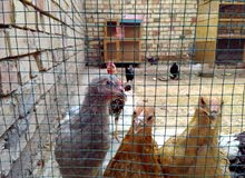 دجاج انواع