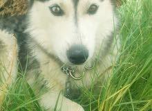 كلب هاسكي للبيع بصحه جيده التواصل واتساب