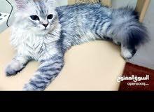 persion cat