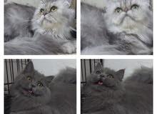 قطط (سكوتش فولد تابي - شيرازي - شانشيلا )