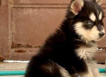 كلب هاسكي جرو
