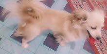 كلب زينه لولو يفتهم كلشي واليف فول لاعوب