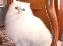 قطه شيرازي ابيض ثلجي