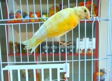 طير كنار للبيع 0797078869