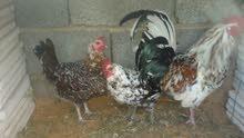 عندي تلات دجاجات لبيع زوز فوليت واحد زهري