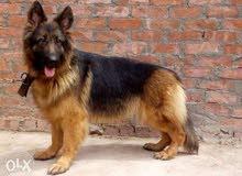 كلب جيرمن السعر1500ج