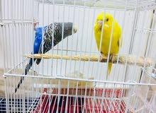 زوج طيور حب منتج للبيع مع القفص