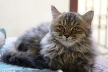 قطط شيرازي بيور تربية منزل صغيرة عمر شهرين