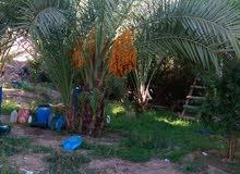 اشجار نخيل ووشنطونيا للبيع بسعر مغري