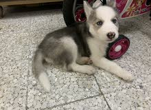 كلب بيور هاسكي