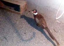 طائر الفزنت