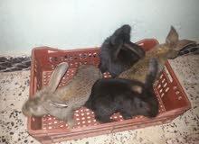 ارانب تلاته ارباع جامبو