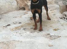كلب رت وايلر ألماني للبيع