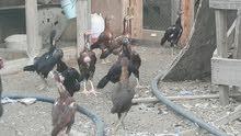 فروخ دجاج باكستاني سندي للبيع الواحد ب 10قابل لتوصل وتساب 97324679