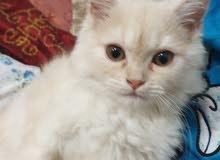 قطه شيرازى