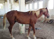 حصان ذكر اشقر بسياله العمر 4 سنوات اللون اشقر والشعر اصفر محافظه اربد