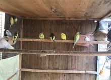للبيع طيور حب مال بيت مزاويج تقريباًمن 6الئ 10 ازواج سعر الزوج 12 الف العنوان كربلاء طوريج
