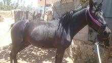 حصان عمر سنتين للبيع