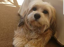 كلب تيري فريش العمر سنه ونص ماخذه جميع المطاعيم