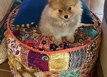 female Pomeranian Teacup dog