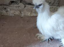 دجاجة وديج سلكي