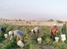 مطلوب عمال لمزرعه 150+ 20 اكل