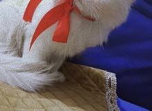 قطة نثية شيرازي العمر 6 اشهر ملقحه لون العين كرستال