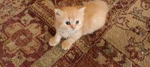 قطط شيرازى