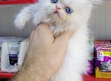 قطط ذكور بيرشن العمر شهرين
