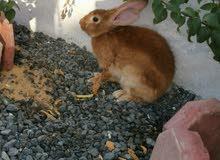 أرنب أنثى للبيع حامل الصحة ممتاز جدا و إنتاج البيت الحجم كبير