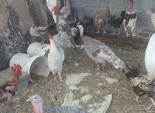 تصفية دجاج عمر شهرين ب 700فقط