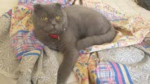 """Pure Scottish fold """"Male"""" for sale (Age - 7 months )"""