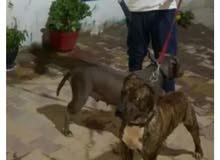 كلب بيتبول للبدل بي سيديات بلايستيشن 4 سليم