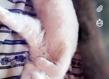 قطه شيرازيه لون ابيض للبيع